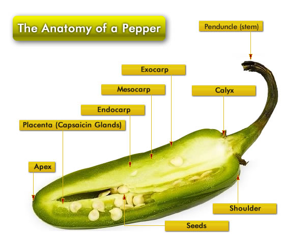 Anatomy of the Chili Pepper