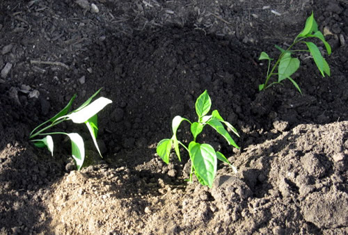 Growing Jalapeno Peppers: Planting peppers in the Ground